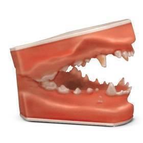 Model, canine pathology dental