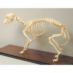 Model, canine skeleton