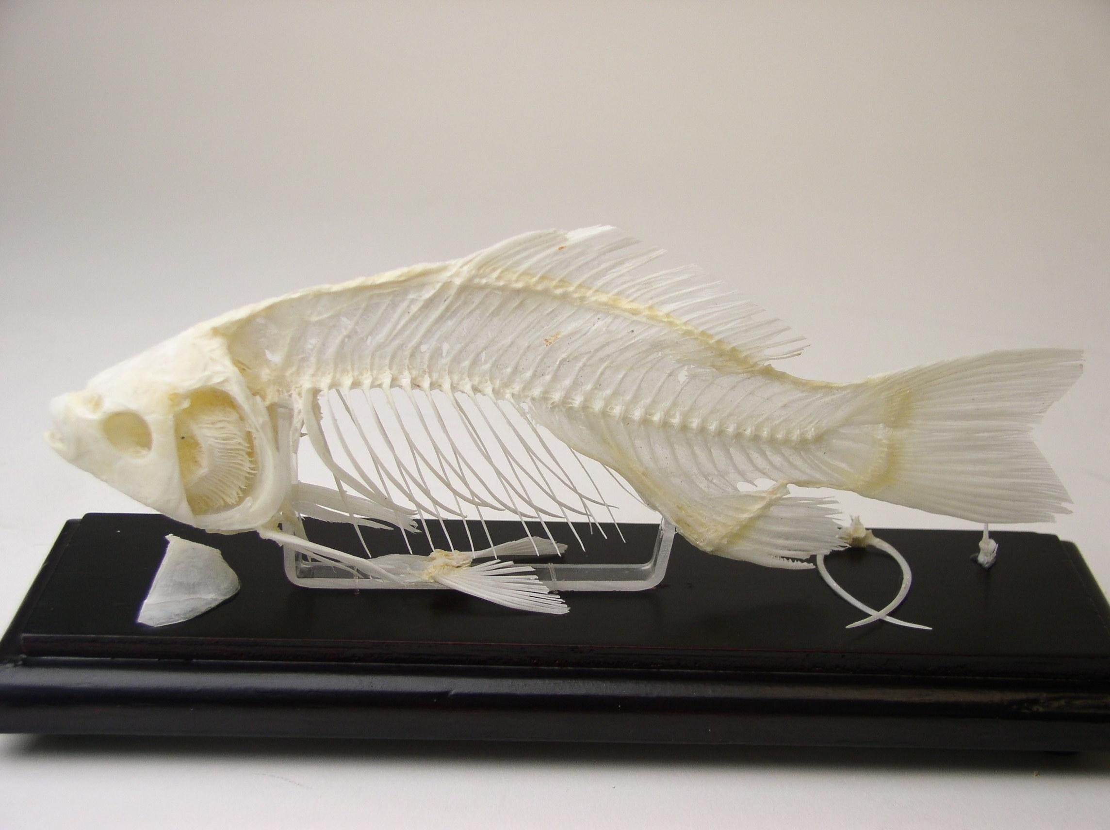 FISH SKELETON,EA
